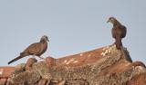 Spotted Dove / Perlehalsdue, 12-01-17, CR6F4513.jpg