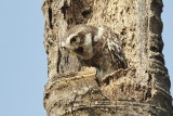 Spotted Owl / Plettet Natugle, 11-01-17, CR6F4372.jpg