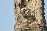 Spotted Owl / Plettet Natugle, 11-01-17, CR6F4375.jpg