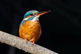 Common Kingfisher / Isfugl, 19-11-16, 0V4E6836.jpg