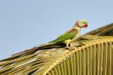 Plum-headed Parakeet / Blommehovedet Ædelparakit, 09-01-17, CR6F3643.jpg