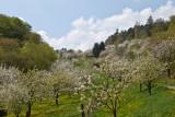 Kirschblüten und Schafe
