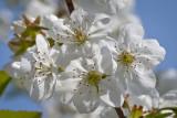 Kirschblüten   -  Cherry blossoms
