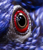 Auge eines Papagei -   (Rainbow Lorikeet)    -   The eye of a parrot