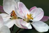 Apfelblüten mit Besuch