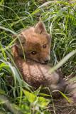 Ein kleiner Fuchswelpe sonnt sich vor seinem Bau