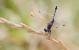 Little Blue Dragonlet 2.JPG