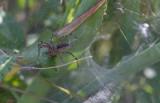 funnel-web spider.JPG