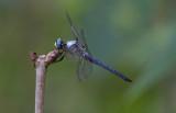 Great Blue Skimmer male.JPG