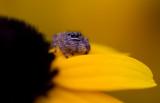 tiny spider 7.JPG