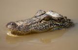 little Alligator.JPG