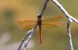 Golden-winged Skimmer.JPG