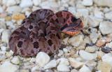 small Hognose Snake.JPG