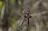 Common Baskettail.JPG