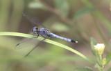 Little Blue Dragonlet.JPG