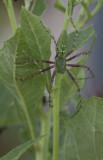 Green Lynx spider f.JPG