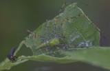 Green Lynx spider m.JPG