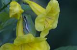 Green Treefrog 1.JPG