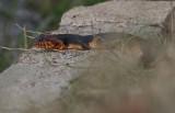Broad-banded Watersnake.JPG