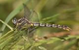 Sulphur-tipped Clubtail female.jpg