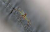 Magnolia Green Jumping Spider.jpg