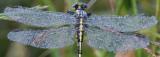 wings of dew.jpg