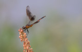 Four-spotted Pennant.jpg