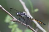 Great Blue Skimmer female.jpg