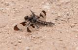 Common White-tail female.jpg