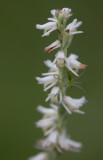 Green Lynx spider on flower 2.jpg