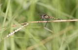 Little Blue Dragonlet female.jpg