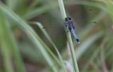 Little Blue Dragonlet male.jpg