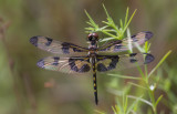 Banded Pennant imt male.jpg