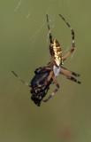 Argiope eating beetle.jpg