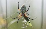 Argiope eating katydid.jpg