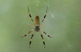 Golden-silk Spider.jpg