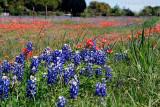 Texas Wildflowers 2016