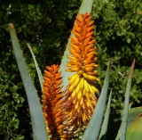 Aloe speciosa hybrid