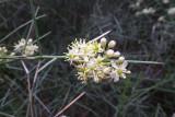 Koeberlinia spinosa -  Crucifixion thorn