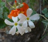 Desert Phlox and Globe Mallow on the High Trail