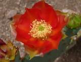 Red Opuntia Flower
