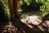 Date Palms across from Herb Garden