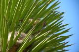 Cactus Wren Nest in Yucca