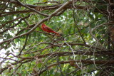 Summer Tanager and baby