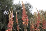 Aloe littoralis