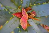 Autumn leaves on aloe