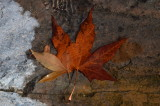 Sycamore Leaf in Wood Canyon Creek - Tonto National Forest