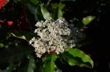 Chinese Photinia - Photinia serrulata