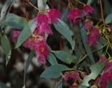 Eucalyptus leucoxylon var. rosea