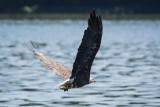 BALD EAGLE W/FISH at HUESTON WOODS SP